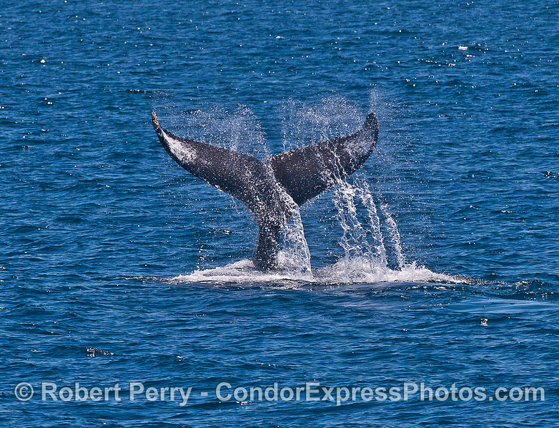 Image 1 of 2:  Humpback whale tail throw fake-out.  It never did slap its tail.