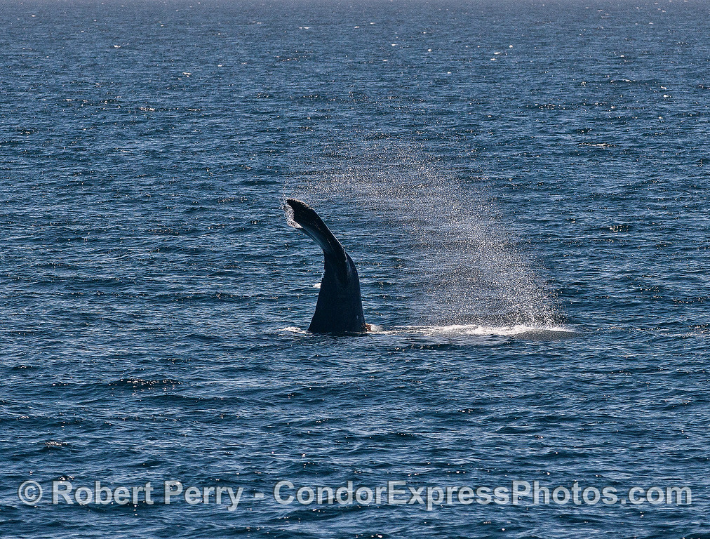Image 2 of 2:  Humpback whale tail throw fake-out.  It never did slap its tail.