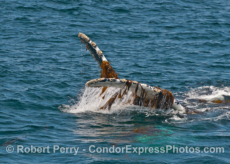 Humpback whale on its back with kelp-loaded pectoral fins in the air.
