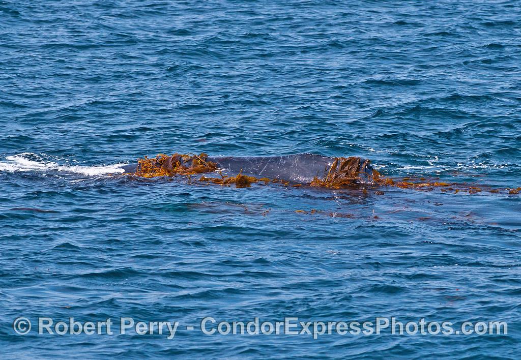 A kelp barge...aka humpback whale kelping.