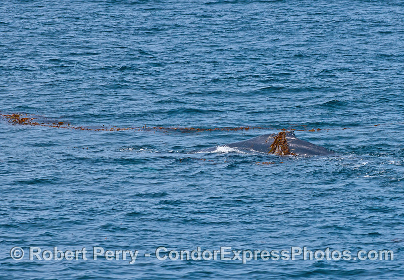 Draped in kelp, a humpback whale heads for more.