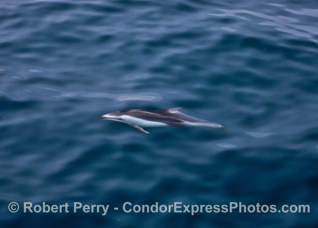 Pacific white-sided dolphin underwater view.