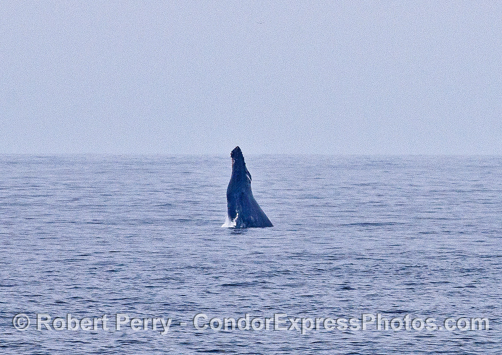Silhouette of a distant breach - humpback whale.