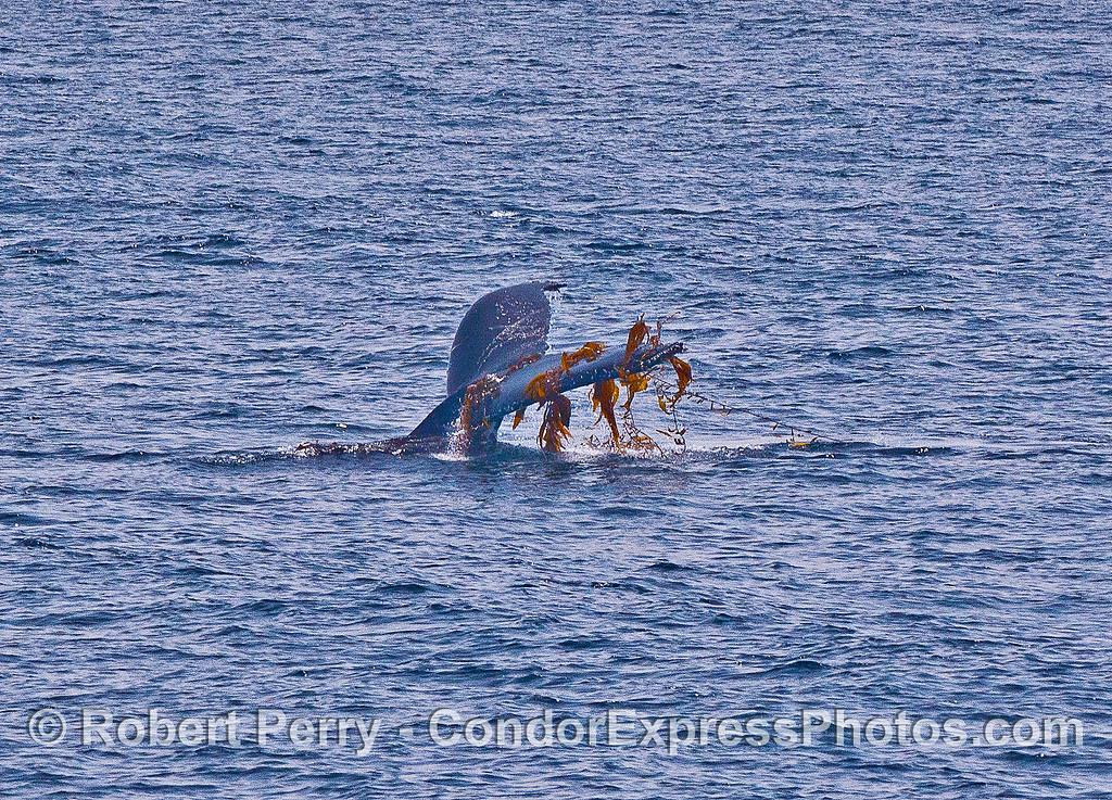 Tail flukes full of giant kelp.