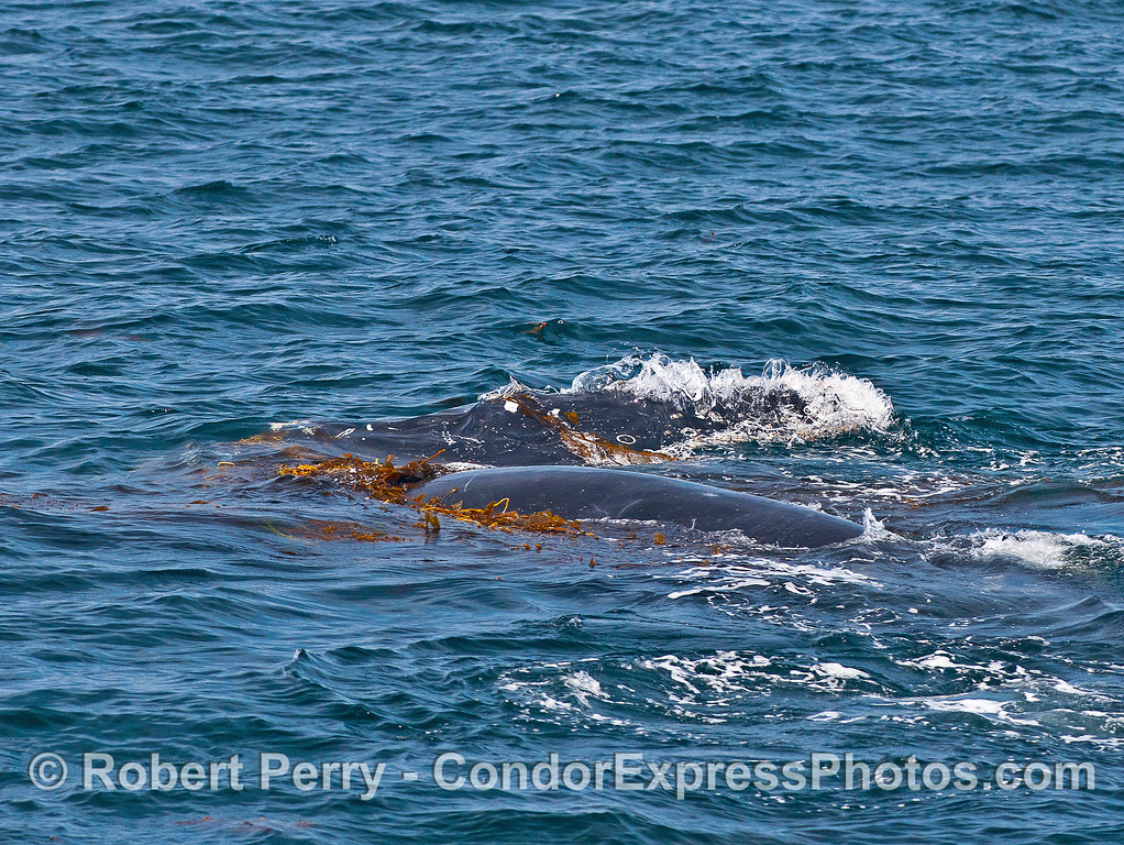 Friendly humpback whale kelping.