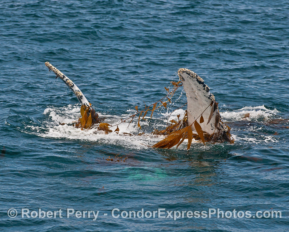 A humpback whale has rolled-over on its back with both pectoral fins in the air, kelping.