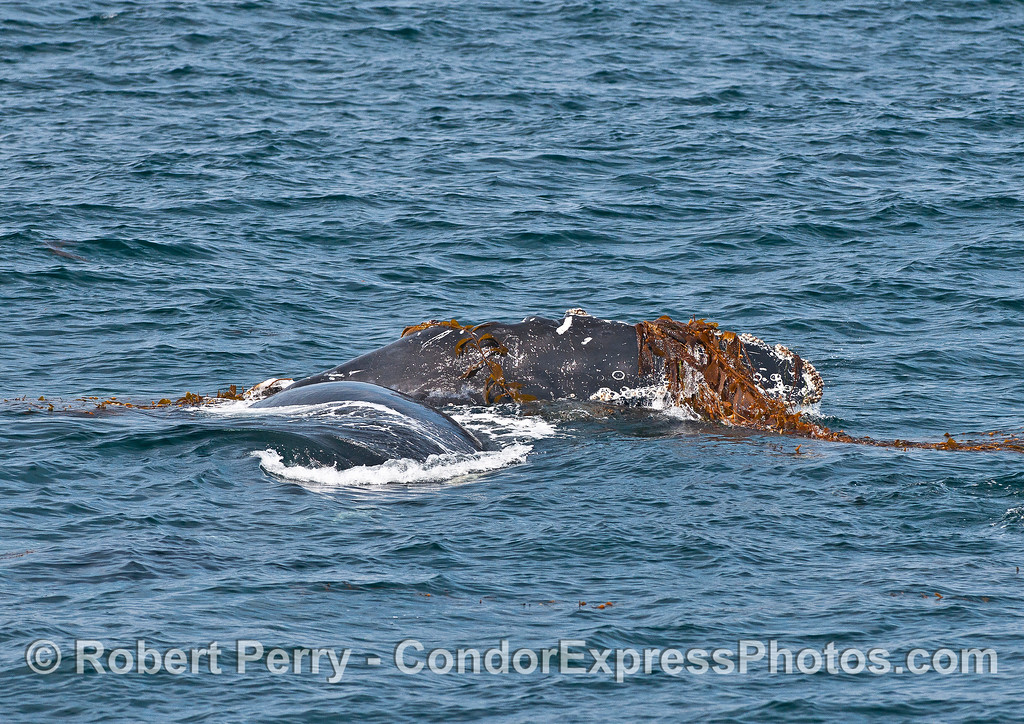 Humpback whale rolling on its side with its pectoral fin full of kelp.