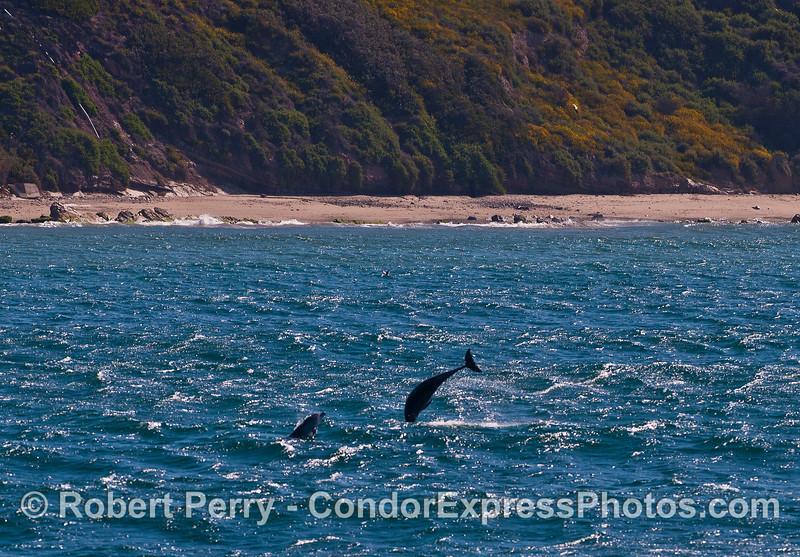 More bottlenose dolphin aerial antics.