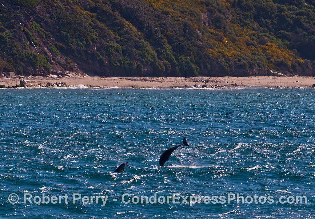 More bottlenose dolphin aerial antics.