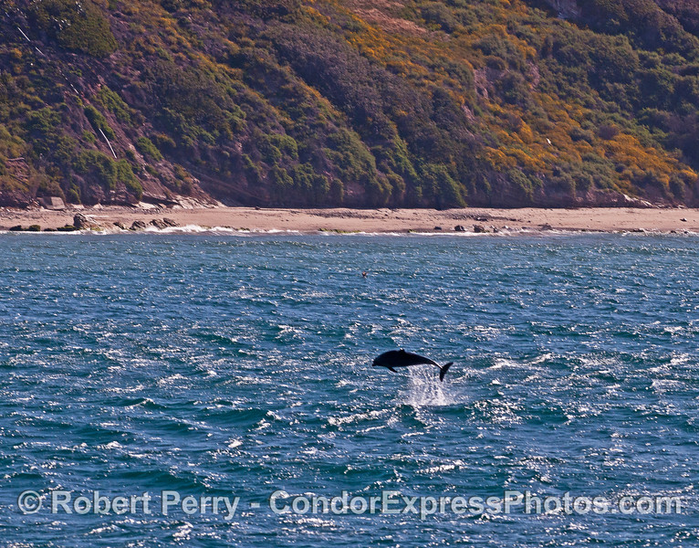When two groups of inshore bottlenose dolphins met up, a little leaping took place.