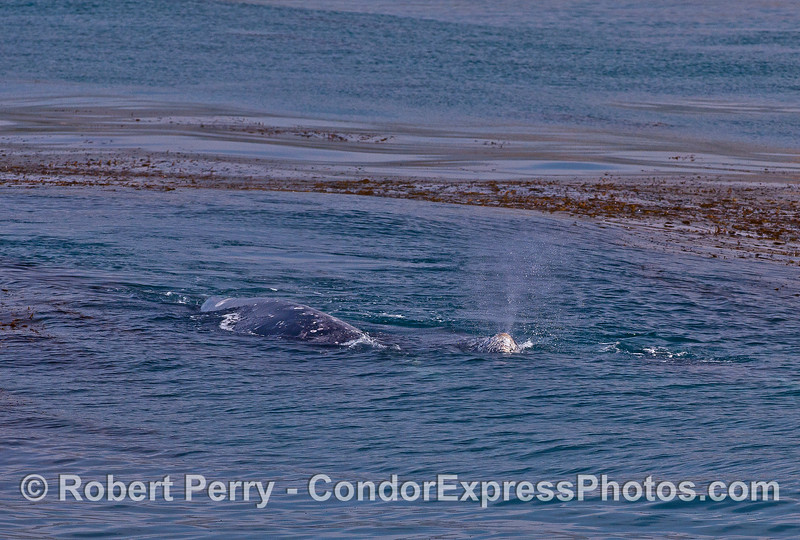 Mother gray whale and her calf near a kelp bed.