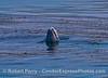 Spyhop in the kelp beds - gray whale