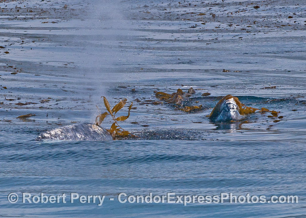 Mom and calf gray whales.  The force of the spout exhaust is shown blowing the giant kelp off the whale's blowhole.