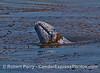Gray whale - spyhop kelping.
