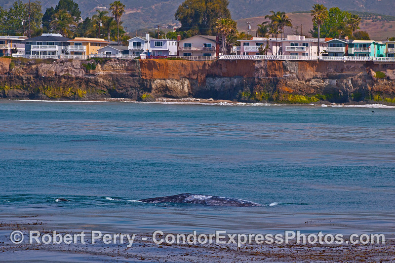 Isla Vista bluffs and a northbound gray whale.