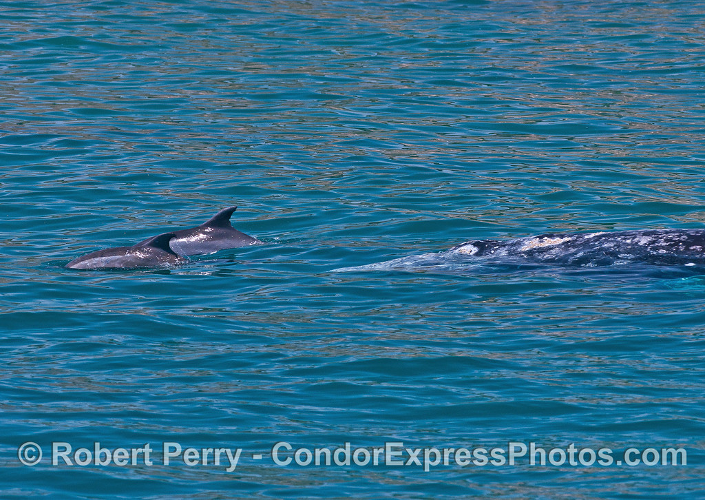 Two inshore bottlenose dolphins ride the bow of a gray whale.