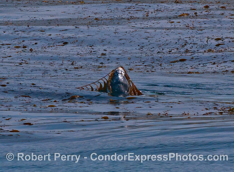The latest in fashion headware - giant kelp atop a playful gray whale calf.