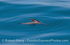 A rafting California sea lion - pectoral fin in the air.