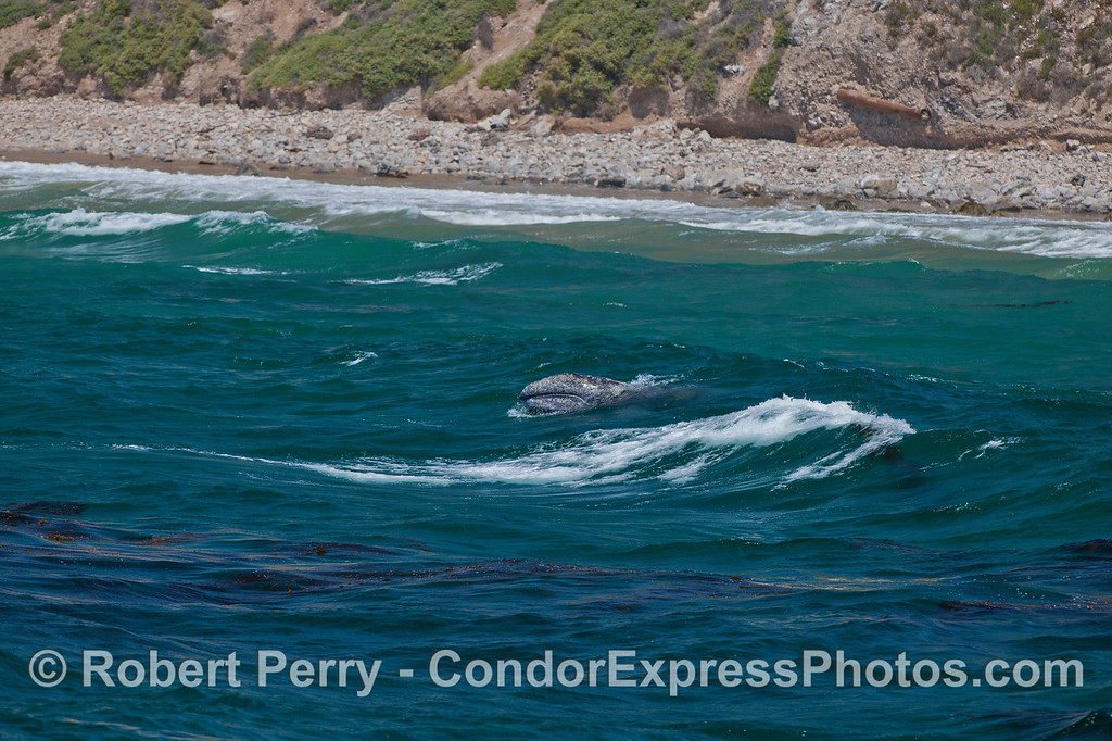 A wide-angle view of the gray whale calf busting through the surf.