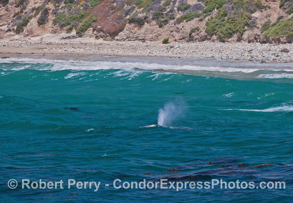 Gray whale calf spouting as it parallels the beach in the surf zone.