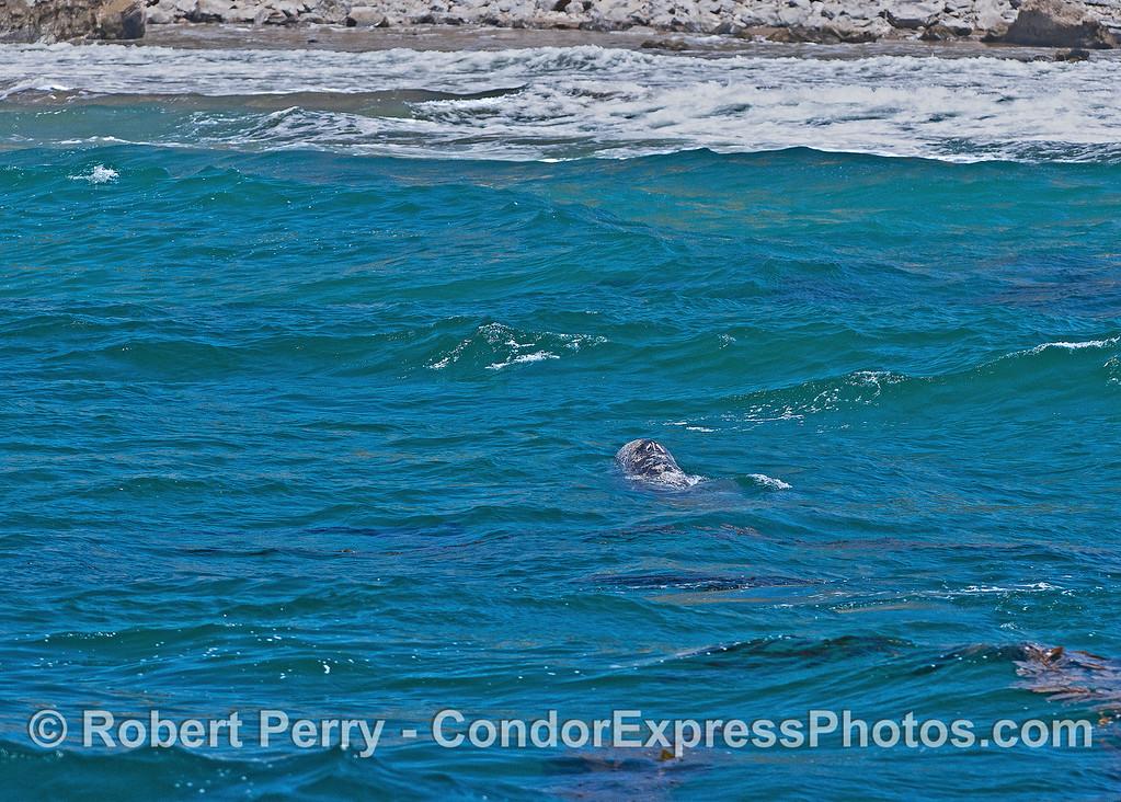 Gray whale calf heads for the beach .