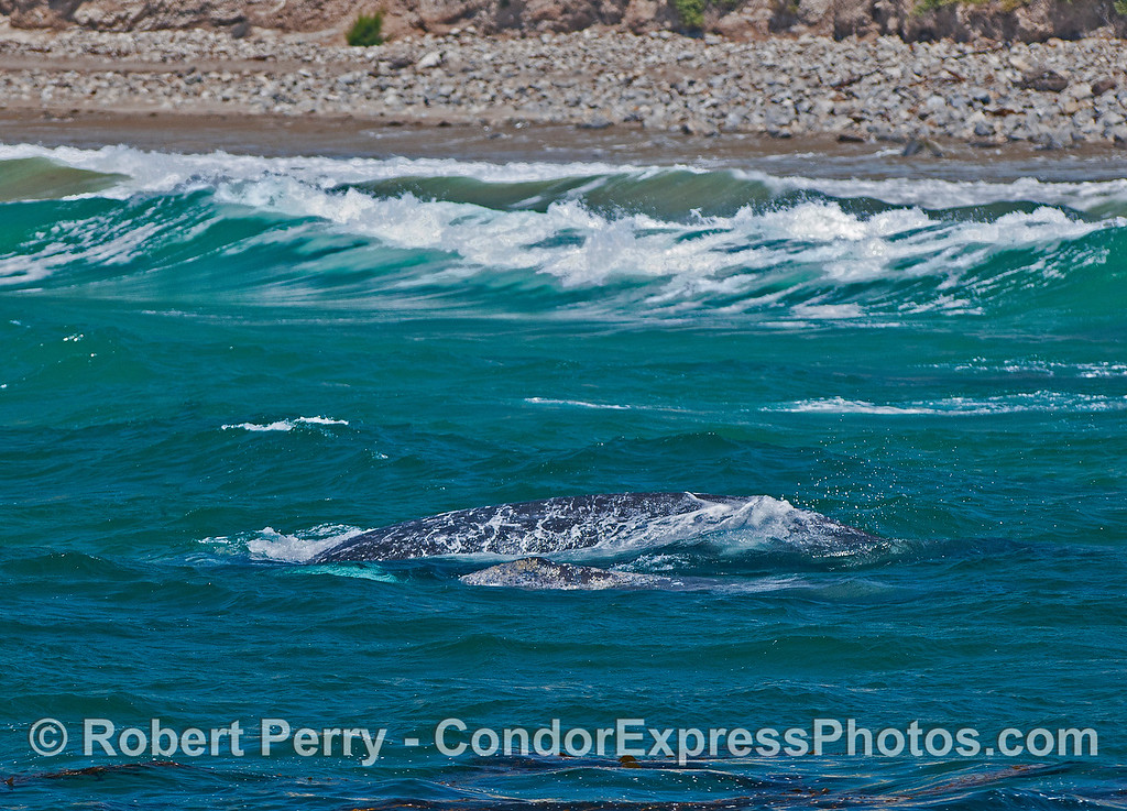 Mother gray whale and her calf in the surf zone.   The little calf is closest to the camera.