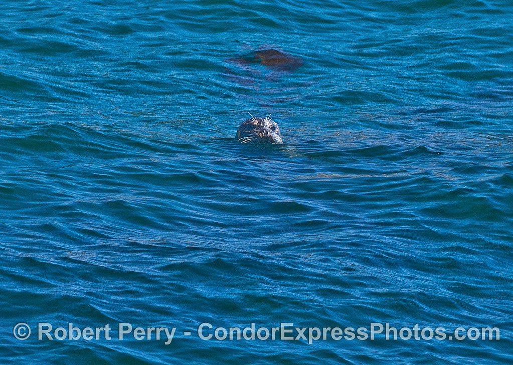Image 2 of 3:  Pacific harbor seal in open water.