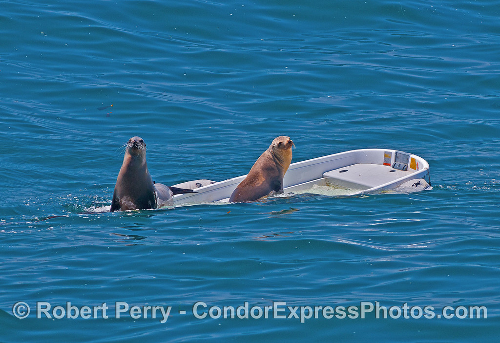 Image 1 of 2:  Two California sea lions take over a sinking dinghy - East Beach anchorage, Santa Barbara.