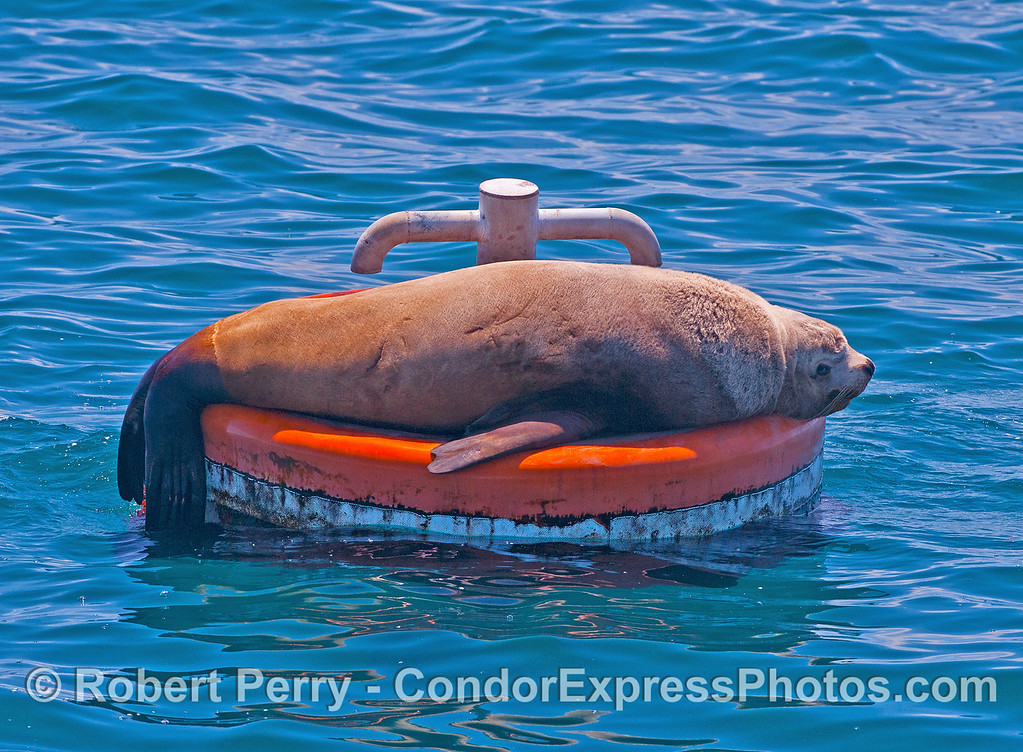 Image 1 of 2:  a young male Stellar sea lion takes over a mooring can and makes it lean.  East Beach anchorage, Santa Barbara.