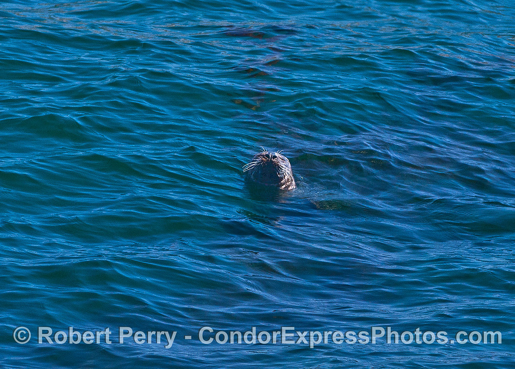 Image 3 of 3:  Pacific harbor seal in open water.