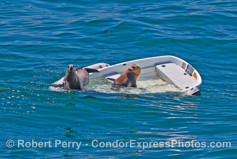 Image 2 of 2:  Two California sea lions take over a sinking dinghy - East Beach anchorage, Santa Barbara.