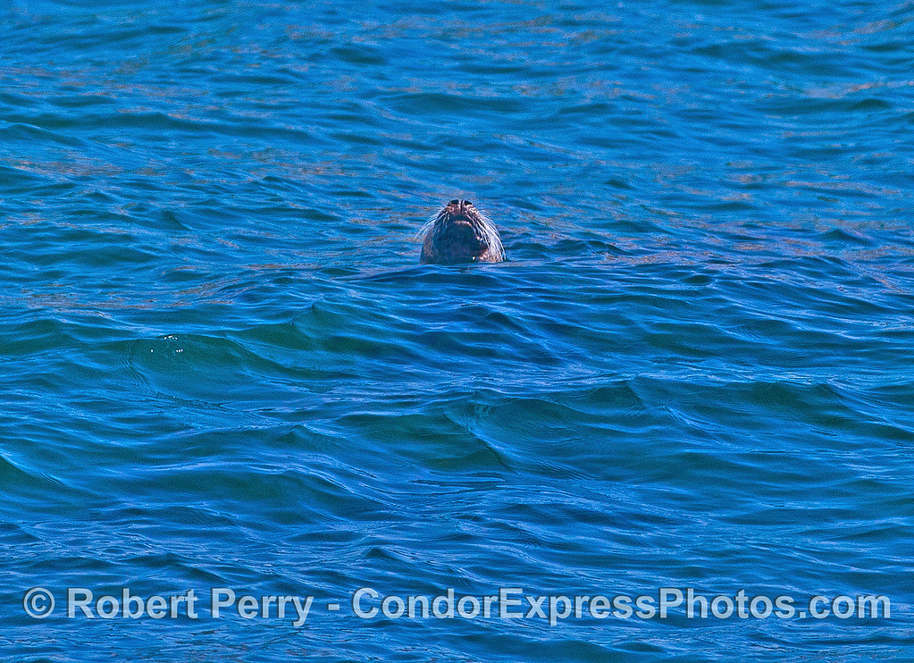 Image 1 of 3:  Pacific harbor seal in open water.