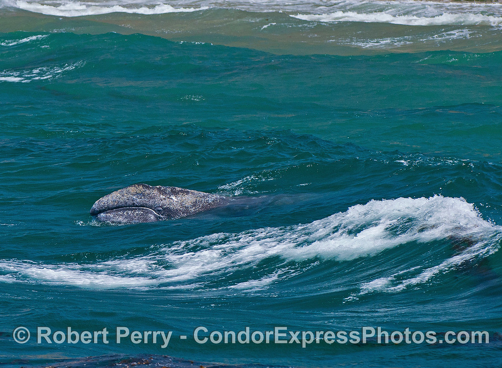 Image 1 of 2:  a juvenile gray whale busts through an on-coming wave in the surf zone along Shoreline Park beach in Santa Babara.  It's eyeball is open and looking at you.