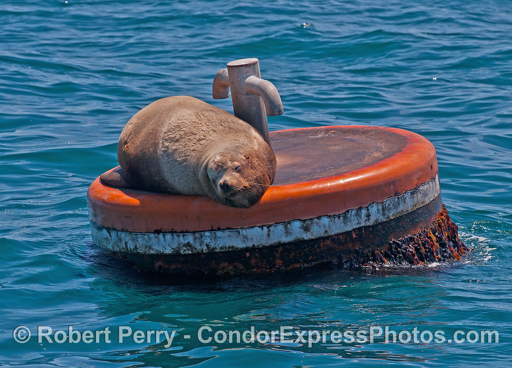 Image 2 of 2:  a young male Stellar sea lion takes over a mooring can and makes it lean.  East Beach anchorage, Santa Barbara.