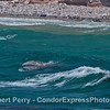 Image 2 of 2:  a juvenile gray whale busts through an on-coming wave in the surf zone along Shoreline Park beach in Santa Babara.
