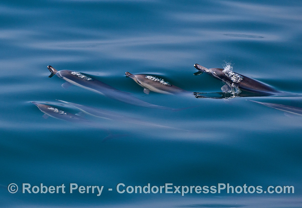 Bubble team - long-beaked common dolphins.