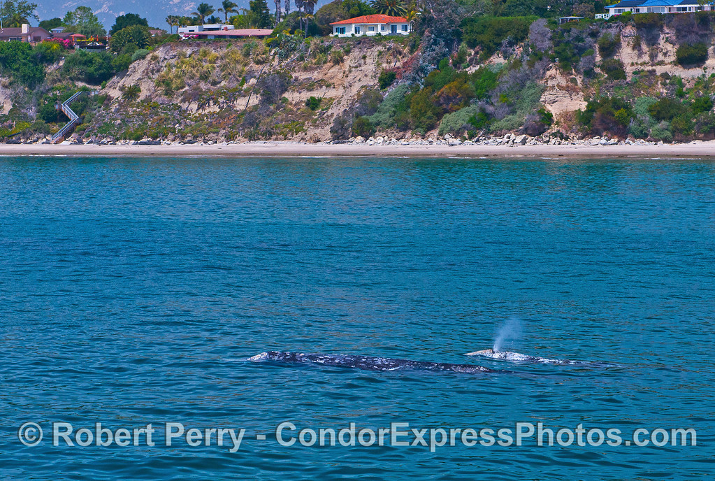 Mother and calf gray whale do a coastal sight-seeing cruise.