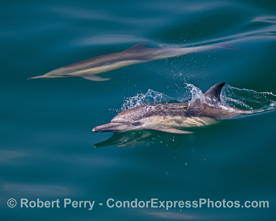 Close look at a long-beaked common dolphin on glass.