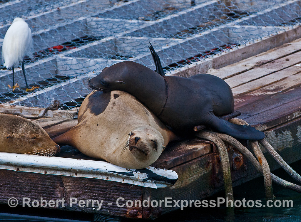 A wet (therefore, darker) sea lion with a neck entanglement rests on a dry sea lion - bait barge, Santa Barbara Harbor.