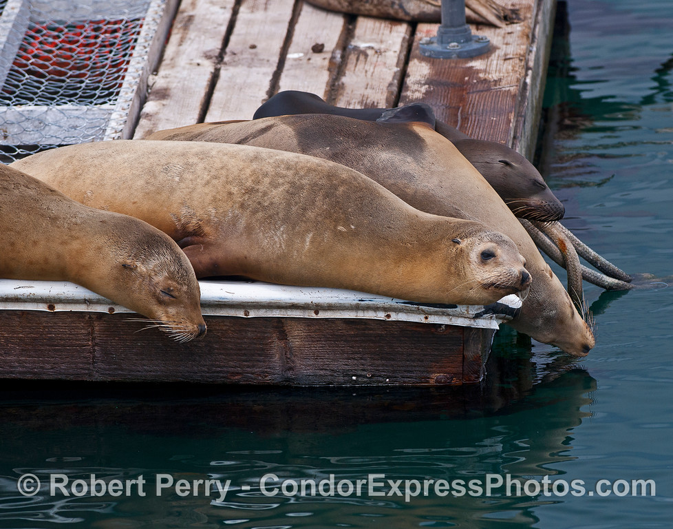 California sea lions rest on the harbor bait barge (and marine mammal refuge).