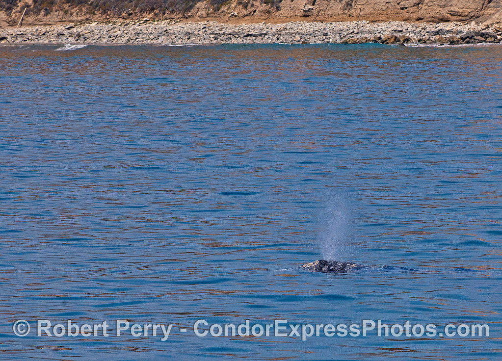 Northbound gray whale near the coast of Santa Barbara.