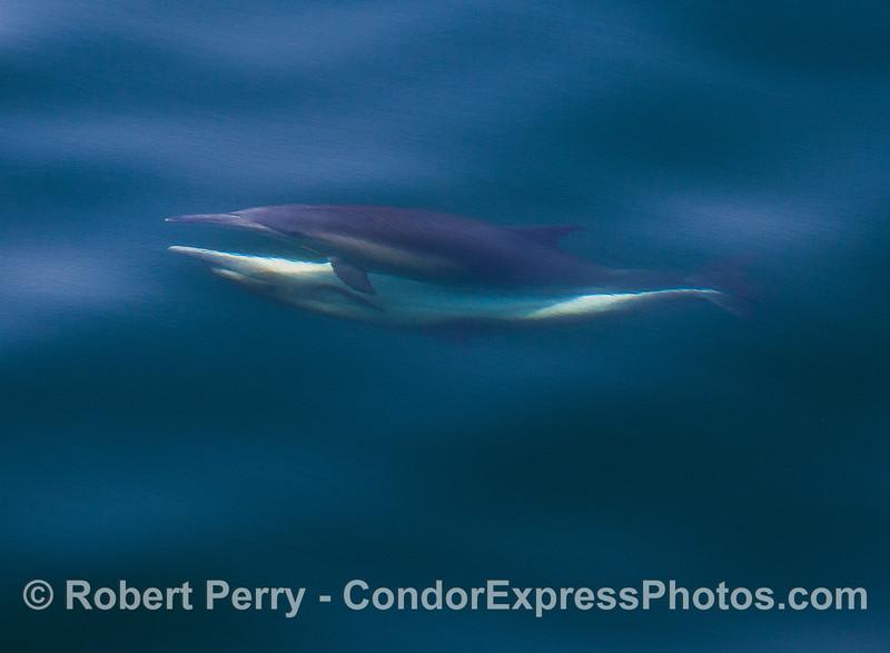 Delphinus capensis mating 2016 04-29 SB Coast-036