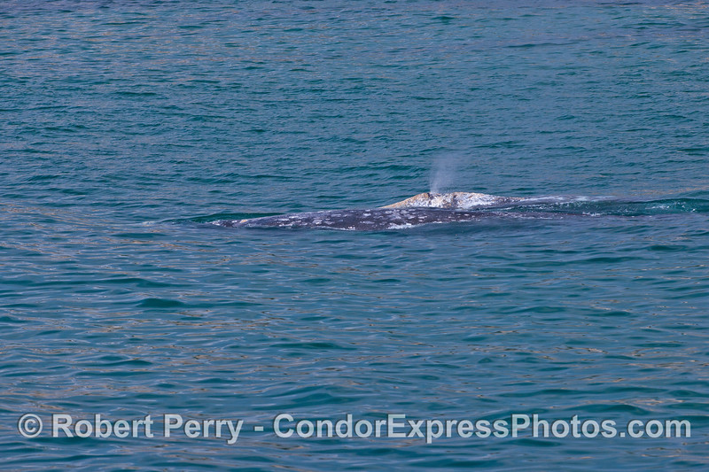 Mother gray whale (foreground) and her spouting calf (background).