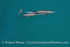 Delphinus capensis wide angle cow-calf UW 2016 04-29 SB Coast-a-051