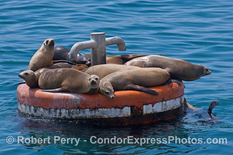 California sea lions on a large mooring can - East Beach Anchorage, Santa Barbara.