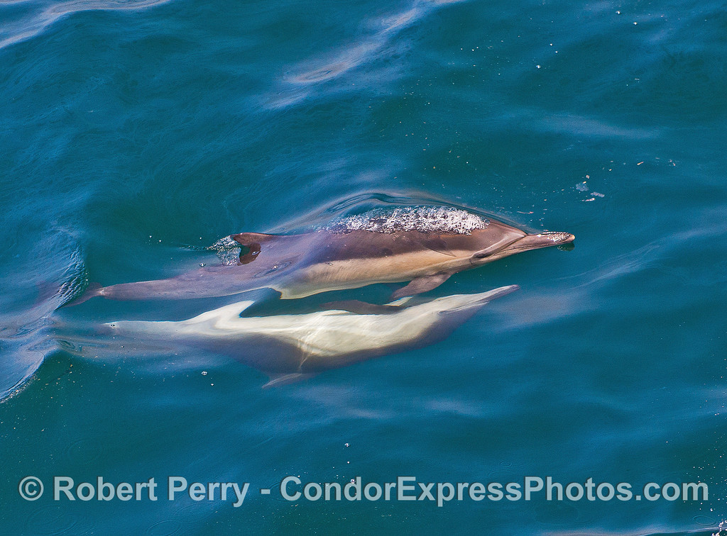 Image 1 of 2 in a row:  mating long-beaked common dolphins.