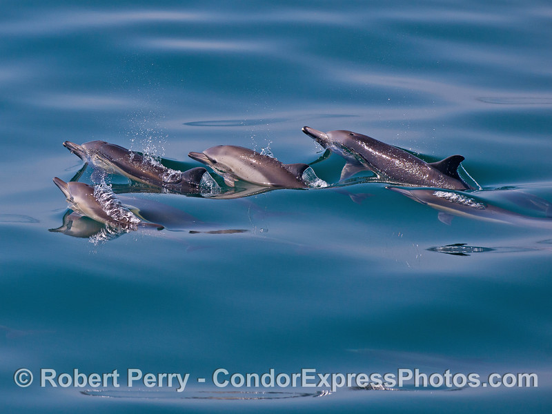 Blowholes up !  Long-beaked common dolphins.