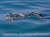 Delphinus capensis 2016 04-29 SB Coast-018