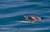 Delphinus capensis 2016 04-29 SB Coast-071