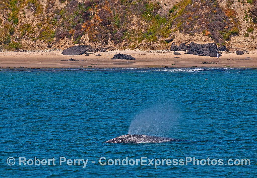 Gray whale on the kelp bed highway to Alaska.